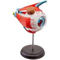 Eyeball Anatomy Model