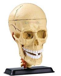 Cranial Nerve Skull Anatomy Model