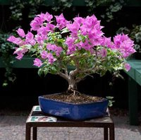 Bonsai Tree Bougainvillea