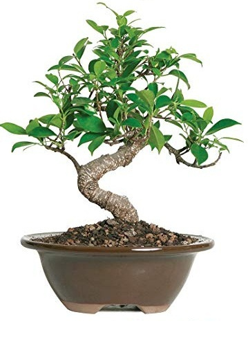 Bonsai Tree Ficus