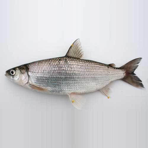 Fish (Seafood)