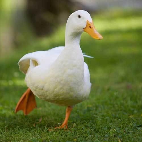 Ducks (Ducklings)