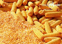 Yellow maize(Corn)