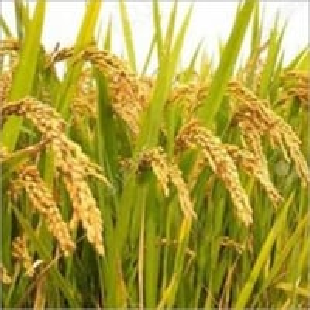 Paddy Grain