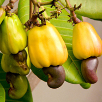 W240 Split Cashew Nut