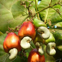 W240 Natural Split Cashew Nut