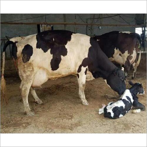 High Yield HF Cow