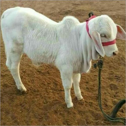 White Sahiwal Calf