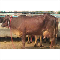 Dark Brown Sahiwal Cow