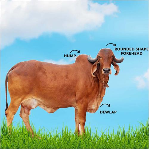 Brown Gir Cow