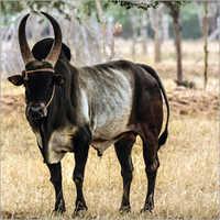 Pure Kangayam Bull