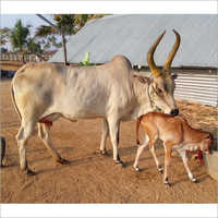 Indian Kangayam Cow With Calf