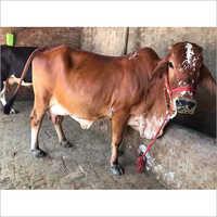 Indian Rathi Cow
