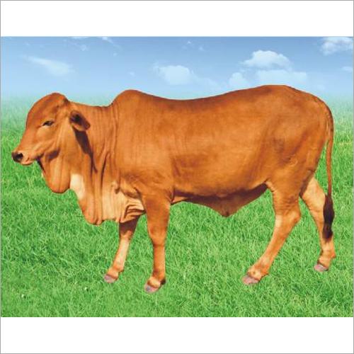 Sahiwal Breed Cow