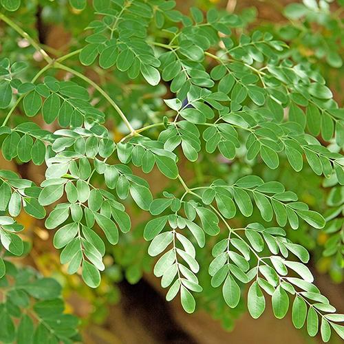 Moringa Fresh Green Leaves