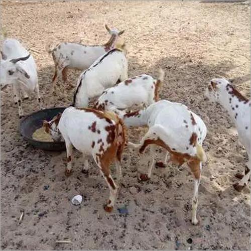 Barbari Goat - Barbari Goat Suppliers, Dealers & Wholesalers