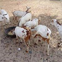Live Goat - Live Goat Supplier, Exporter & Traders