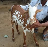 Barbari Goat