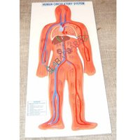 Human Circulatory System Labappara