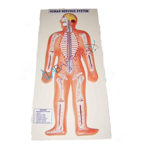Human Nervous System Labappara