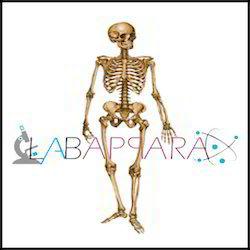 Human Skeleton Labappara