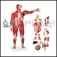 Human Muscular System Labappara