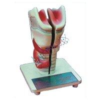 Larynx Model Labappara