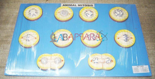 Animal Mitosis Labappara