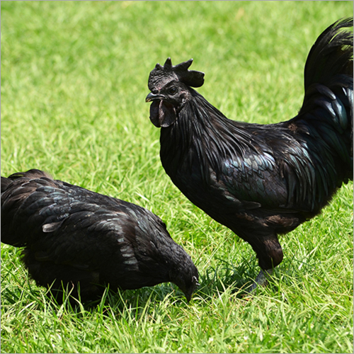 Pure Kadaknath Chicken