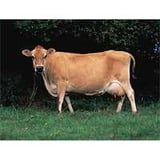 Jersey Breeds Cow