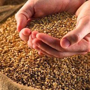 Organic Indian Sharbati Wheat