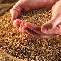 Indian Sharbati Wheat