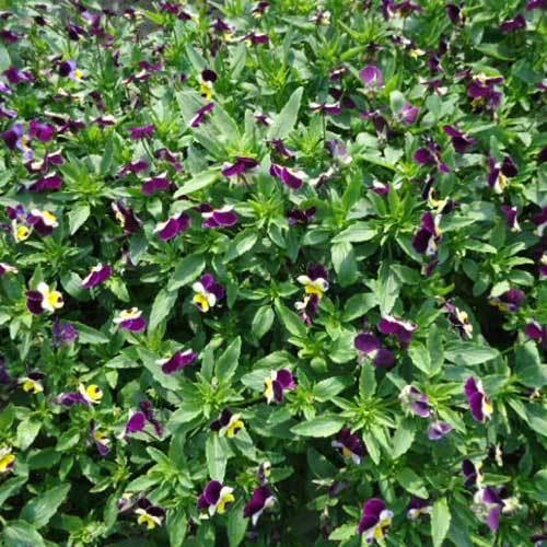 Viola Cornuta Miss Halen Mount Seeds