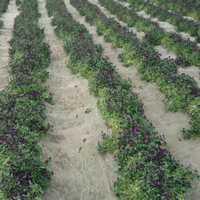 Viola Cornuta King Henry Violet Seeds
