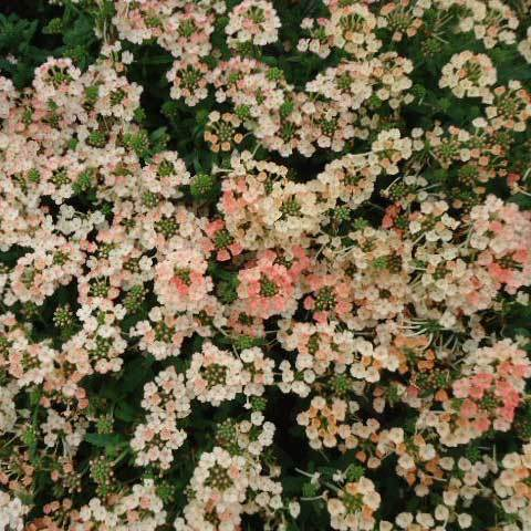Verbena Hybrida Peaches & Cream Dwarf Seeds
