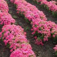 Verbena Hybrida Compacta Nana Rose Seeds