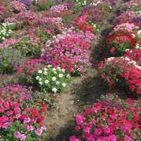 Verbena Grandiflora Hot Spot Mix Seeds