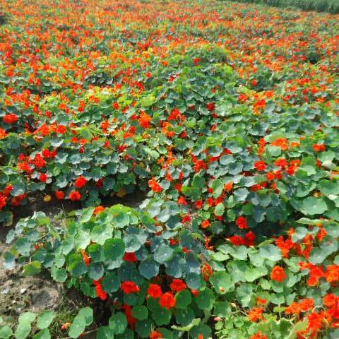 Tropaeolum Majus Semi Double Fl Indian Chief Red Seeds