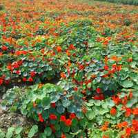 Tropaeolum Majus Semi Double Fl Indian Chief Red Seeds