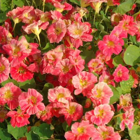 Tropaeolum Majus Nanum Cherry Rose seeds