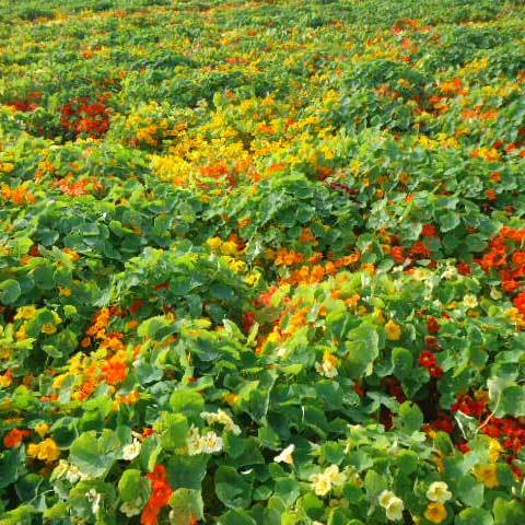 Tropaeolum Majus Nanum Jewel Mix Seeds