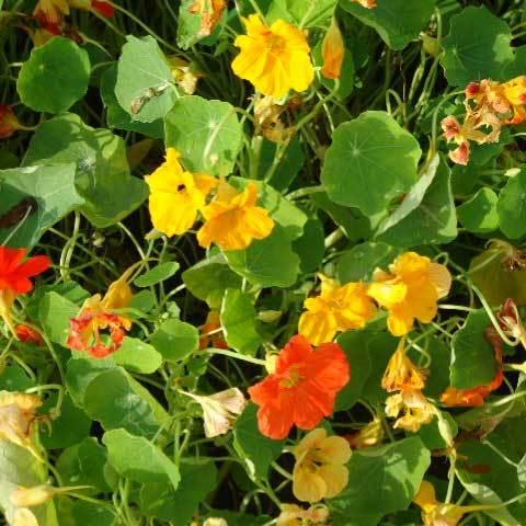 Tropaeolum Majus Geam Hybrids Mixed Seeds