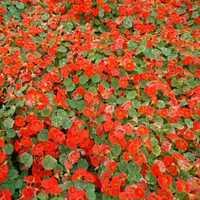 Tropaeolum Majus Nanum Alaska Red Seeds