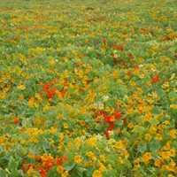 Tropaeolum  Majus nanum Alaska  Mix Seeds