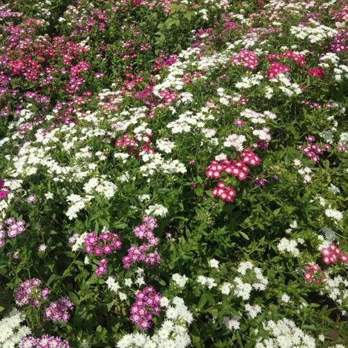 Phlox Drummondii Twinkle Mixed Seeds