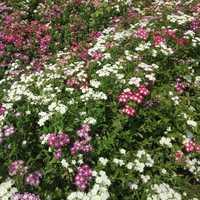 Phlox Drummondii Twinkle Mixed Seeds