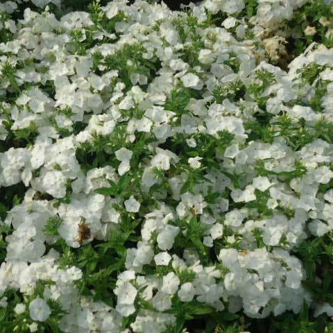 Phlox Drummondii Tall White Seeds