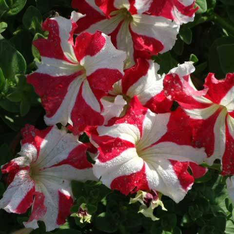 Petunia X Hybrida Star With Star Red Seeds