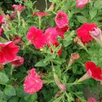 Petunia Hybrida Fire Chief Seeds