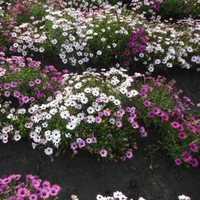 Osteospermum Eclonis Mixed Seeds